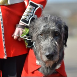 The Irish Guards 16th Regimental Mascot on St Patrick\'s Day Parade in London.